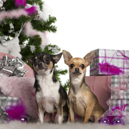 Chihuahuas, 2 years old, with Christmas tree and gifts in front of white background photo