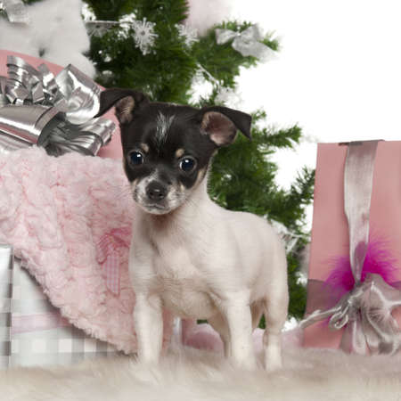 chihuahua 3 months old: Chihuahua puppy, 3 months old, with Christmas tree and gifts in front of white background