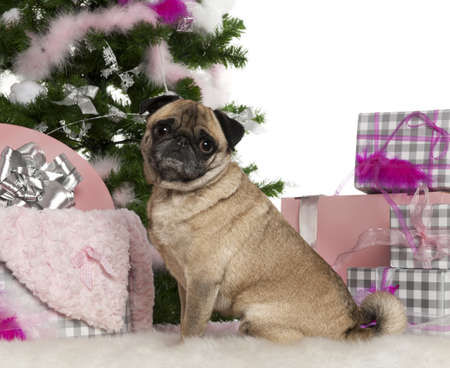 Pug, 4 years old, with Christmas tree and gifts in front of white background photo