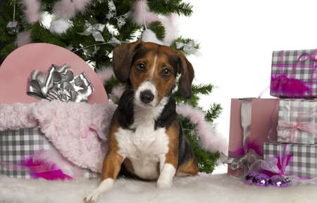 Beagle, 2 years old, with Christmas tree and gifts in front of white background photo
