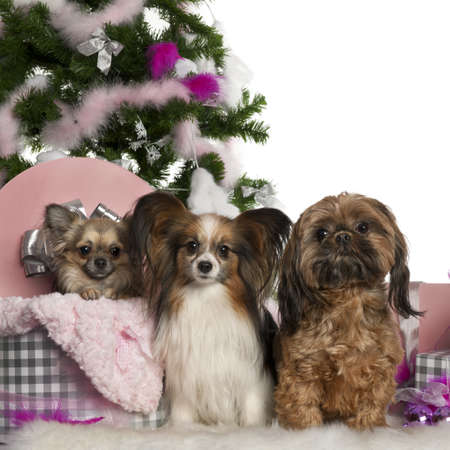 Chihuahua, 18 months old, getting out a box, with Papillon, 5 years old, and Shih Tzu with Christmas tree and gifts in front of white background photo