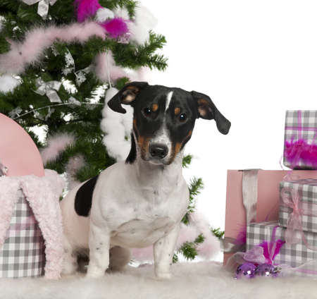 Jack Russell Terrier, 9 months old, with Christmas tree and gifts in front of white background photo