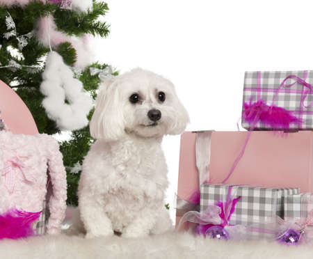 maltese dog: Maltese, 2 years old, with Christmas tree and gifts in front of white background