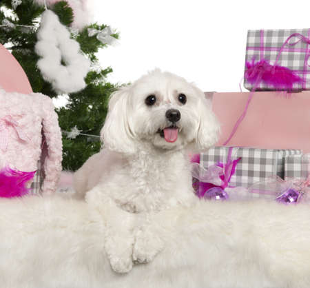 Maltese, 2 years old, with Christmas tree and gifts in front of white background photo