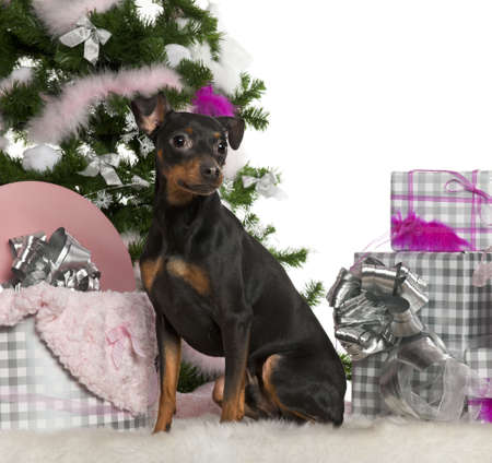 German Pinscher, 2 years old, with Christmas tree and gifts in front of white background photo