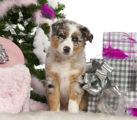 Australian Shepherd puppy, 2 months old, with Christmas tree and gifts in front of white background photo