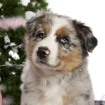 Australian Shepherd puppy, 2 months old, with Christmas tree and gifts in front of white background Stock Photo - 13588066
