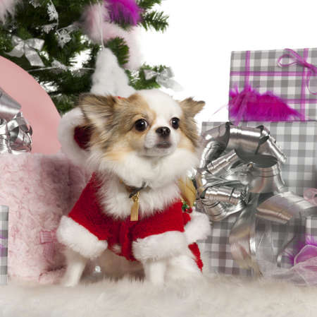 Chihuahua, 2 years old, with Christmas tree and gifts in front of white background Stock Photo - 13592041