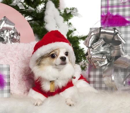 perros vestidos: Chihuahua, 2 a�os de edad, con �rbol de Navidad y los regalos delante de fondo blanco