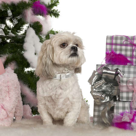 Shih Tzu, 4 years old, with Christmas tree and gifts in front of white background photo