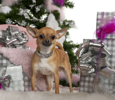 Chihuahua, 15 months old, with Christmas tree and gifts in front of white background photo
