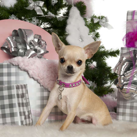 Chihuahua, 8 months old, with Christmas tree and gifts in front of white background photo