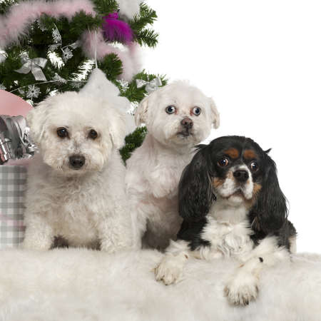 Bichon Frisé and Maltese, 12 years old and Cavalier King Charles Spaniel, 3 years old, with Christmas tree and gifts in front of white background photo