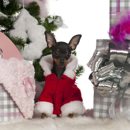 Chihuahua, 4 months old, with Christmas tree and gifts in front of white background Stock Photo - 13590056