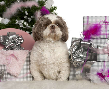 Shih Tzu, 3 years old, with Christmas tree and gifts in front of white background photo