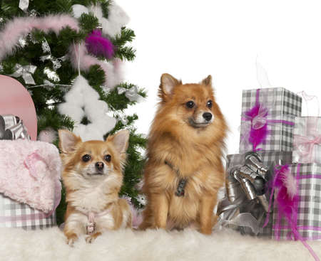 Chihuahua, 3 years old, with Pomeranian, 2 years old, with Christmas tree and gifts in front of white background photo