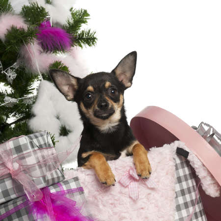 Chihuahua puppy, 5 months old, getting out a box with Christmas tree and gifts in front of white background photo