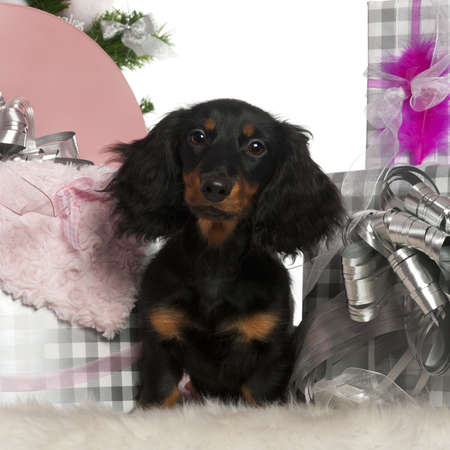 Dachshund puppy, 4 months old, with Christmas tree and gifts in front of white background photo