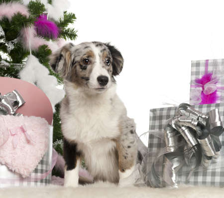 Miniature Australian Shepherd puppy, 5 months old, with Christmas tree and gifts in front of white background photo