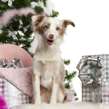 Miniature Australian Shepherd puppy, 1 year old, with Christmas tree and gifts in front of white background photo