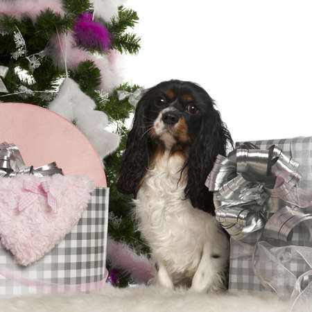 Cavalier King Charles Spaniel, 18 months old, with Christmas tree and gifts in front of white background photo