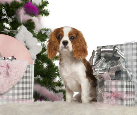 Cavalier King Charles Spaniel puppy, 6 months old, with Christmas tree and gifts in front of white background photo