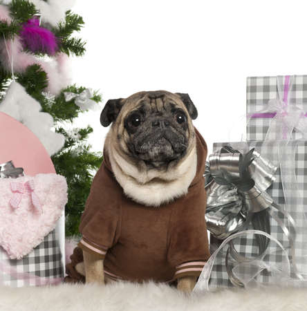 Pug, 6 years old, with Christmas tree and gifts in front of white background photo