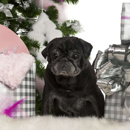 Pug, 13 years old, with Christmas tree and gifts in front of white background photo