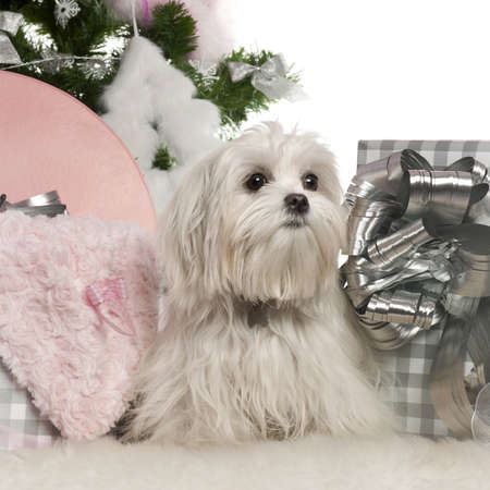 maltese 7 months old with christmas tree and gifts in front of white background
