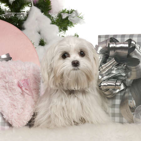 Maltese, 7 months old, with Christmas tree and gifts in front of white background photo