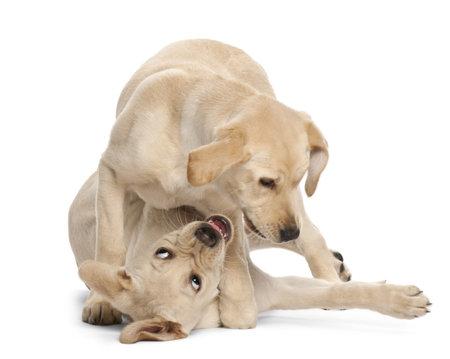 perro labrador: Joven Labrador Retriever, 4 meses de edad