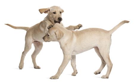 labrador retriever: Joven Labrador Retriever, 4 meses de edad