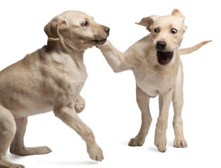 perros jugando: Joven Labrador Retriever, 4 meses de edad