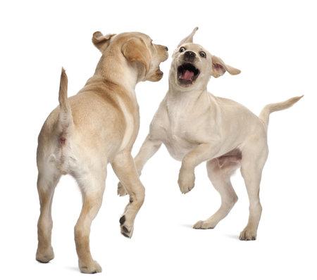 perro furioso: Joven Labrador Retriever, 4 meses de edad