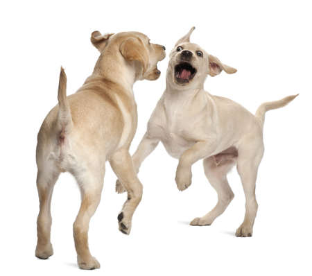 aggressive people: Young Labrador Retriever, 4 months old Stock Photo