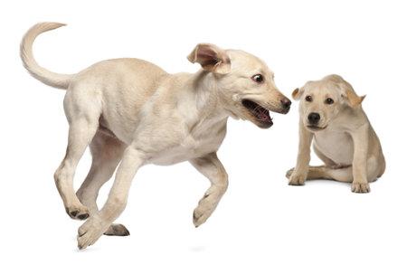 kampfhund: Junge Labrador Retriever, 4 Monate alt