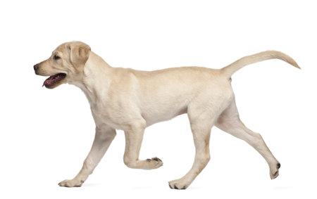labrador retriever: Labrador Retriever Young, 4 meses de edad