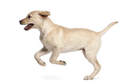 dog running: Young Labrador Retriever, 4 months old Stock Photo