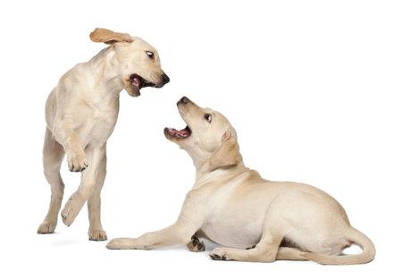 fighting dog: Labrador Retriever Young, 4 mesi di et�