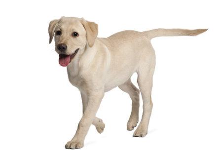perro corriendo: Joven Labrador Retriever, 4 meses de edad