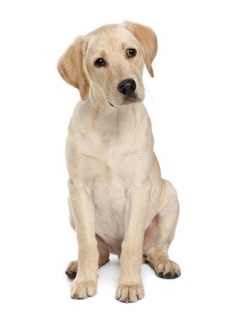 vertebrates: Young Labrador Retriever, 4 months old Stock Photo