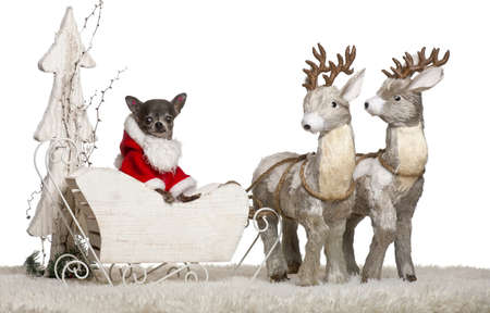 Chihuahua, 8 months old, in Christmas sleigh in front of white background photo