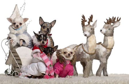 15 months old: Chihuahuas, 4 years, 1.5 years and 2 years old with Chihuahua puppies, 8 months and 10 months old, in Christmas sleigh in front of white background Stock Photo