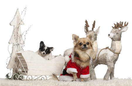 Chihuahua, 3 years old, and Chihuahua puppy, 9 weeks old, in Christmas sleigh in front of white background photo