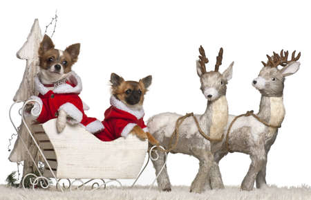 chihuahua 3 months old: Chihuahua, 2 years old, and Chihuahua puppy, 3 months old, in Christmas sleigh in front of white background