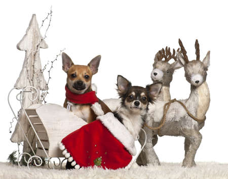 Chihuahuas, 1 year old, in Christmas sleigh in front of white background photo