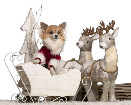 Chihuahua, 5 years old, in Christmas sleigh in front of white background photo