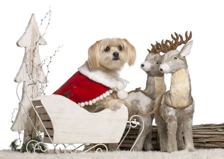 Mixed-breed dog, 5 years old, in Christmas sleigh in front of white background photo
