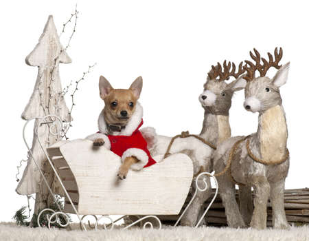 Chihuahua puppy, 4 months old, in Christmas sleigh in front of white background photo