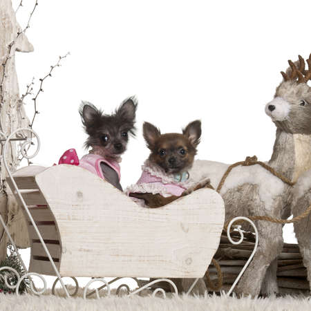 chihuahua 3 months old: Chihuahua puppy, 12 weeks old, Chinese Crested Dog puppy, 3 months old, in Christmas sleigh in front of white background